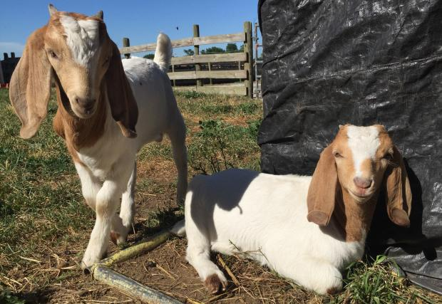 Baby goats were pelted with eggs during a break-in at the Chicago High School for Agricultural Sciences, according to Principal William Hook.