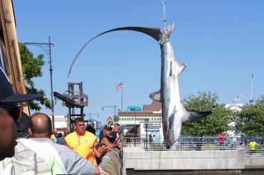 A shark caught at a fishing tournament in Sheepshead Bay.