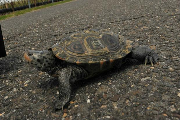 A turtle crosses a runway at JFK airport as part of the annual mating season.