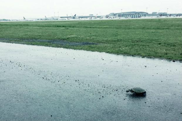 Diamondback terrapin turtles are leaving the sanctity of their home in Jamaica Bay and are wandering onto active taxiways and runway for their annual migration nesting ritual, which just happens to take place on the southeast end of neighboring JFK Airport, officials said.