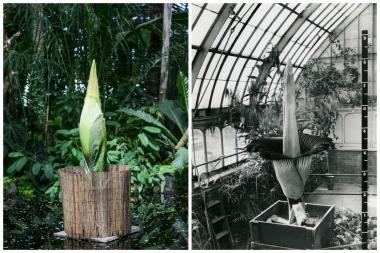 The giant smelly corpse flower (L) is just days away from blooming at the New York Botanical Garden. The flower first bloomed at the garden in 1937 (R).