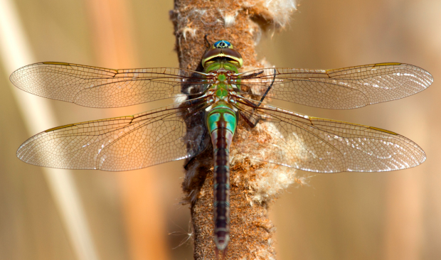 A Common Green Darner Dragonfly at North Park Village Nature Center in Chicago.