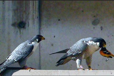 Peregrine falcons dine on a Baltimore oriole in Chicago.