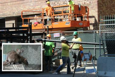 Construction in Old Town is driving huge rats into the neighborhood, residents say.
