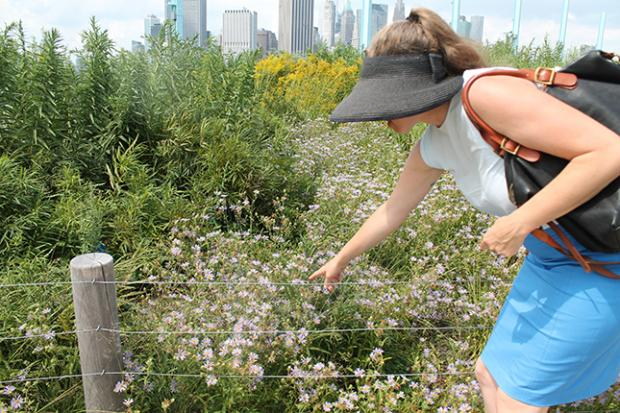 Brooklyn Bridge Park's Director of Horticulture Rebecca McMackin points at a cluster of asters that is in bloom for the first time at the Pier 6 flower garden.