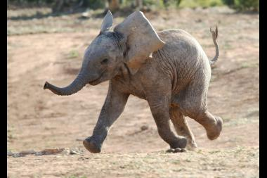 An African baby elephant running to a watering hole.