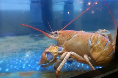 Ruby, a rare yellow lobster, was pardoned after turning up in a shipment to Burger & Lobster in the Flatiron.