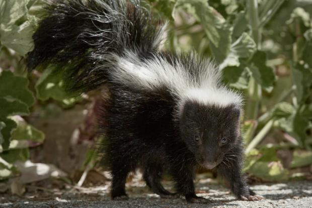 Be on the lookout for skunks throughout Chicago.