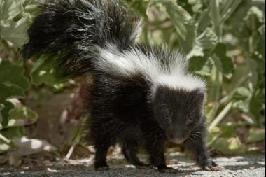 Here's Why You'll Be Smelling Chicago's Skunks More This Month