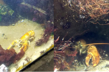 Ruby the Lobster is making a new home in a tank at the Long Island Aquarium.