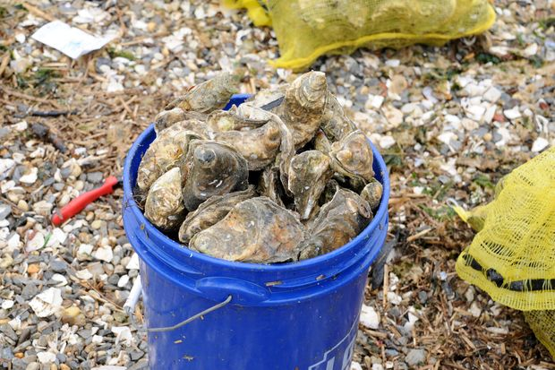 New York City is placing 50,000 oysters in Jamaica Bay.