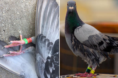 LEFT: A dead racing pigeon found Downtown Tuesday RIGHT: A racing pigeon waiting to take off