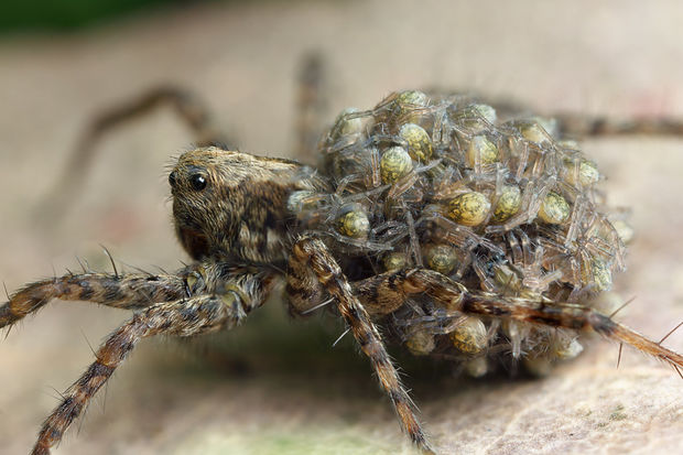 Wolf spiders are common in Chicago. Here a female spider carries her young.