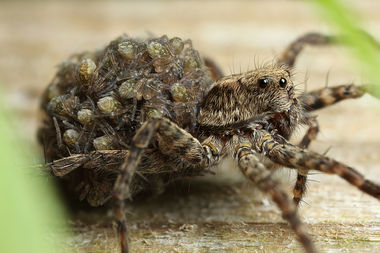 A wolf spider mom carrying her young.
