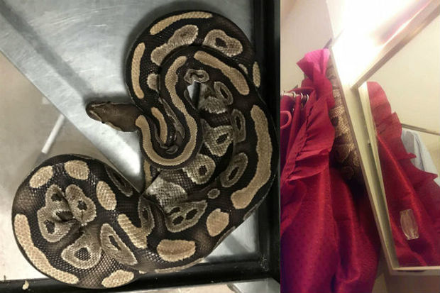 A woman found the snake wrapped around her shower curtain Monday night, according to a neighbor who saw it.