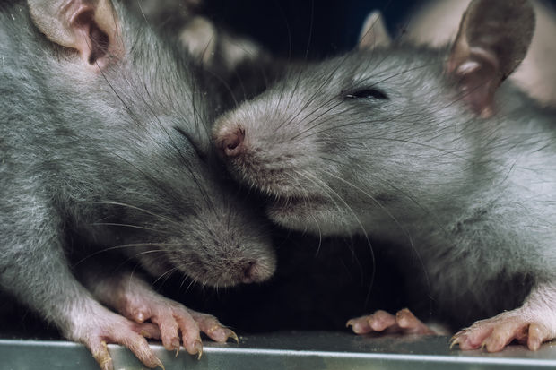 PETA says many people find rats affectionate, intelligent, and sociable animals, not that different from dogs.