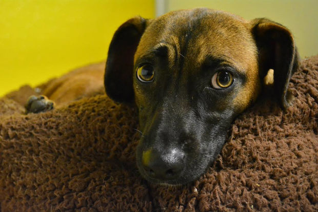 Hershey, a one-and-a-half year old pup, arrived in New York from a shelter in Puerto Rico.