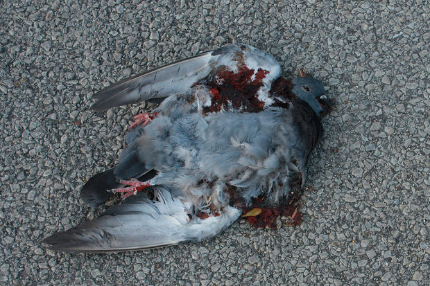 A dead pigeon, likely killed by a predator, in Chicago.