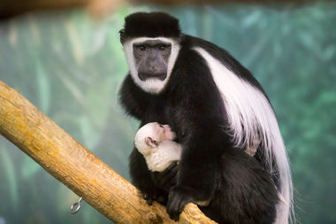 Kutaka, a black-and-white colobus monkey, guards her new infant at Lincoln Park Zook.