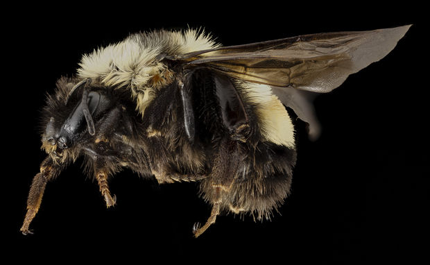 An endangered Rusty Patched Bumble Bee