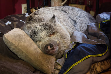 The city won't forcefully evict Wilbur the pig from his Staten Island home after outcry from locals and elected officials.