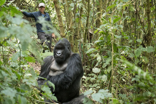 Tara Stoinski, head of the Dian Fossey Gorilla Fund, monitors a mountain gorilla.