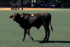 WATCH LIVE: Cow on the Loose in Prospect Park, Police Say