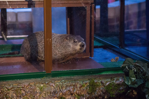 The furry meteorologist predicted an early spring on his 36th annual Groundhog Day forecast.