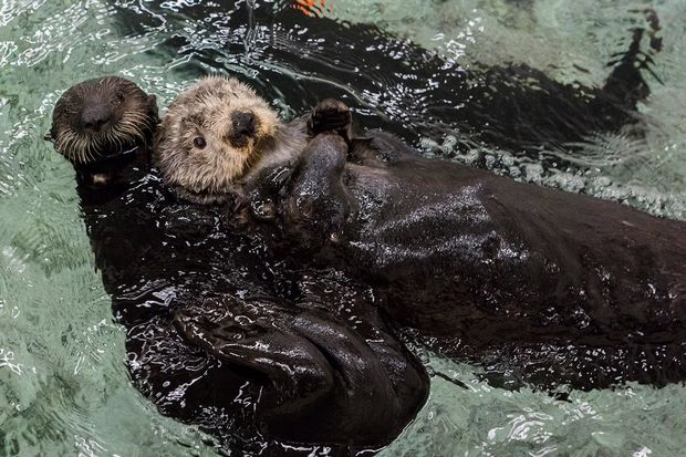 Shedd Aquarium Admission Is Free Until Valentine 39 S Day: aquarium free days