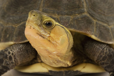 A Queens man pleaded guilty to smuggling endangered turtles, including Chinese box turtles like this one, into New York.