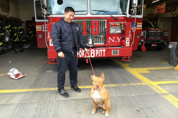 Ashley the 11-month-old Pit Bull mix lives in the firehouse on Pitt Street.