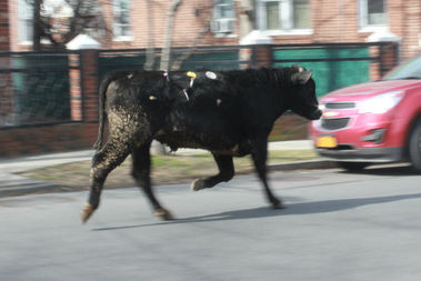 A cow was roaming around Jamaica Tuesday morning.