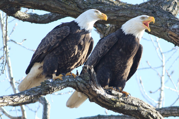 Up to 14 bald eagles have been seen at the same Chicago spot on the South Side, including these two adults.