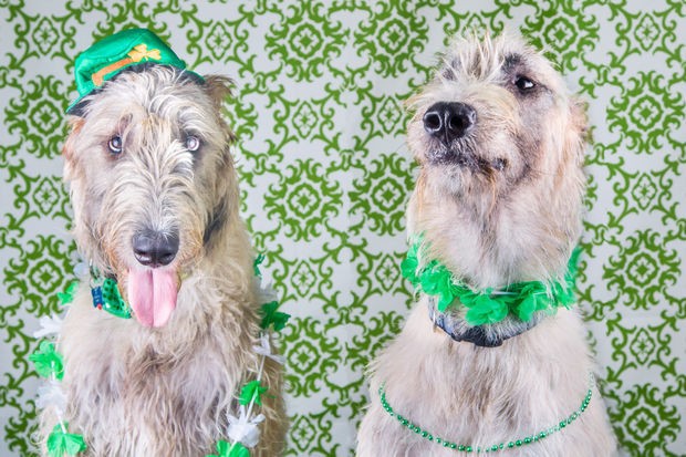 The Mount Greenwood Chamber of Commerce and Posh Pet Day Spa are searching for a Royal Irish Canine. The winner of the doggie photo contest will receive $100 and ride on a float in the South Side Irish St. Patrick's Day Parade.