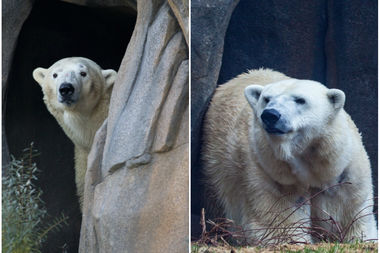 Siku and Kobe will soon be introduced at Lincoln Park Zoo.