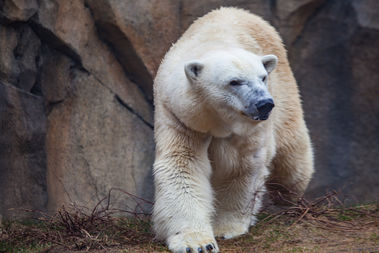 Kobe is a 17-year-old female from the Pittsburgh Zoo.