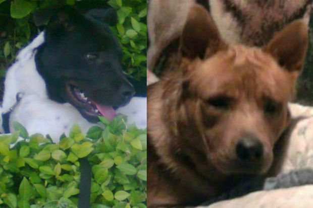 The city will euthanize two German shepherd mix-breed dogs, Jacob and Panda, who mauled a woman to death on Staten Island.