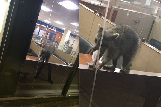 The raccoon inside of Chase bank in Forest Hills Monday night.