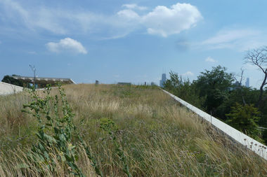 With Big John and the Sears Tower in the background, the green roof at the Notebaert Nature Museum provides sanctuary to prairie grasses.