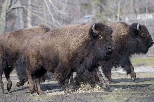 Native American tribes have gifted a herd of bison to the Bronx Zoo.