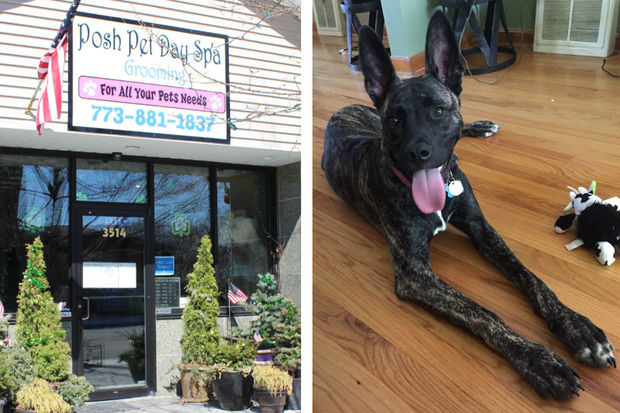 Mya (right) was a frequent visitor of Posh Pet Day Spa in Mount Greenwood. Her owner said he picked the German shepherd mix up from the doggie day care March 11 and found her wearing a shock collar.