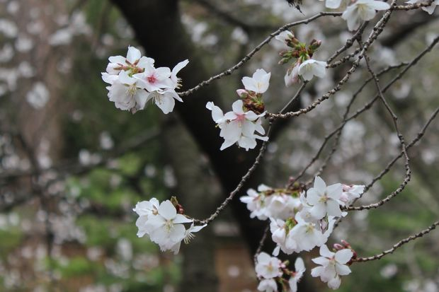 Spring S Finally Here Cherry Trees Blooming At The