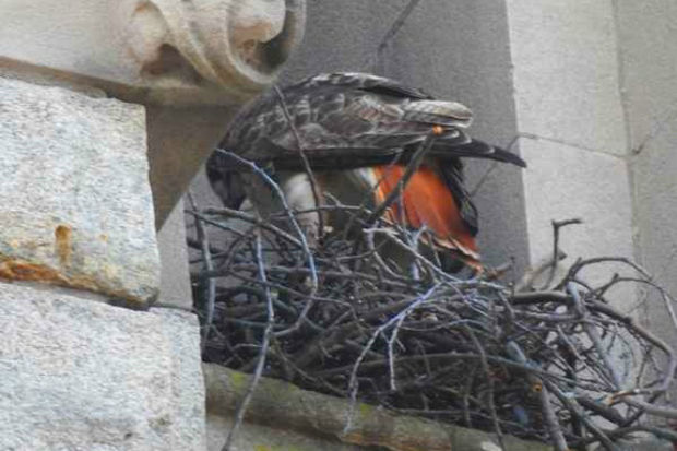 Does he look like a Bob or a Ted? St. Francis Xavier Roman Catholic Church is holding a contest to name a family of hawks building a nest in the church's bell tower.