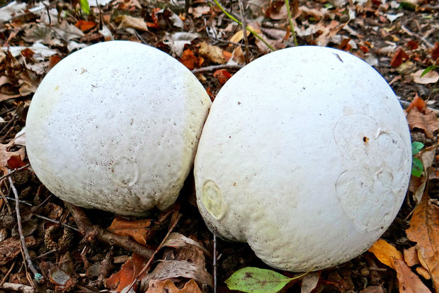 Giant Puffball Mushrooms The Size Of Soccer Balls Grow Around Chicago – DNAinfo Chicago