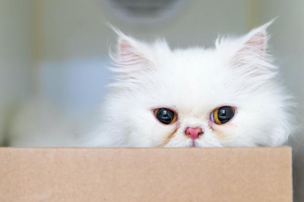 Adopt A Persian Cat Nyc