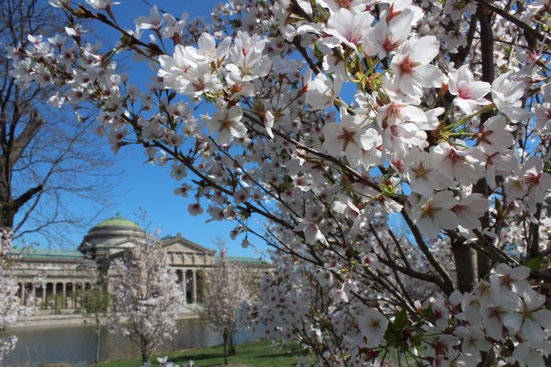 Jackson Park's cherry trees are still blooming for a little bit longer.