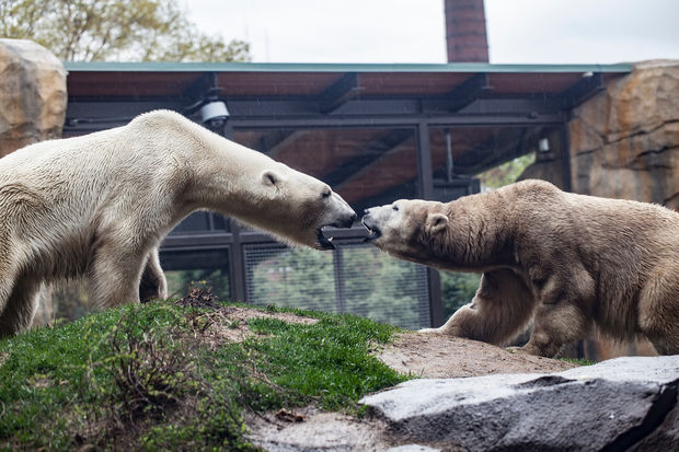 Siku and Kobe introduce themselves in polar bear fashion at Lincoln Park Zoo. They were said to be getting along famously.
