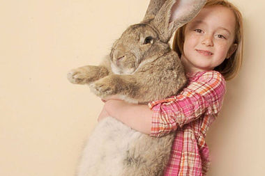 Simon The Giant Rabbit Dies After United Flight To O'Hare
