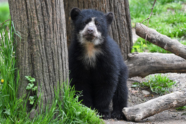 One of the borough's newest residents is a nearly extinct bear cub and the first ever to be born in New York City under a program to get its species off the extinction list.    The male Andean bear cub was born this winter but made his public debut this week — climbing rocks and tall trees with his mama bear inside their home at the Queens Zoo.