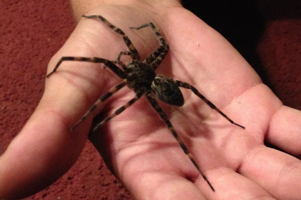 Chicago S Biggest Spiders Are Nearly The Size Of Your Hand South Loop Chicago Dnainfo